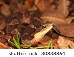 False Viper tongue to find food - stock photo