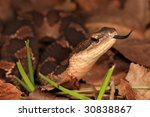 Close up to see False Viper - stock photo