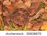False Viper vertical view - stock photo
