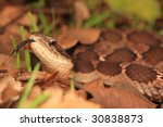False Viper look at you - stock photo