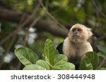 White Faced Capuchin Monkey...