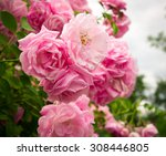 Stock photo pink rose flowers on the rose bush in the garden in summer 308446805