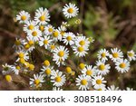 Flowering Chamomile  Medical...