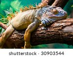 Lazy Iguana Lying Along The...