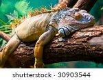 Lazy Iguana Lying Along The...