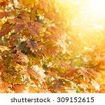 oak tree   oak leaves lit by... | Shutterstock . vector #309152615