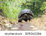 Giant Tortoise In El Chato...