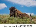 Bison In Hayden Valley Of...
