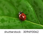 Ladybug On Wet Green Leaf...