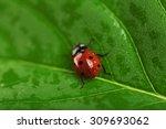 Ladybug On Wet Green Leaf...