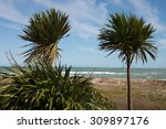 Wind Blown Cabbage Trees Or Ti...