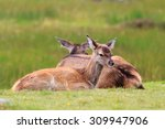 Young Red Deer Resting