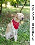 a labrador retriever in the park   Shutterstock . vector #310007036