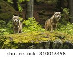 two wolves on a rocky plateau... | Shutterstock . vector #310016498