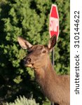 head of a mule deer in front of ... | Shutterstock . vector #310144622