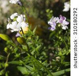 Small photo of Dainty small two lipped blooms of perennial nemesia flowering in late winter add charming soft pink, white and mauve color to a drab garden scape attracting butterflies and bees.