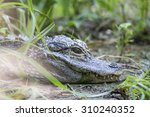 Small photo of A small chinese alligator, Alligator sinensis, is resting between the vegetation near a pond