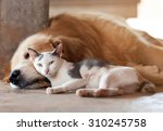Stock photo close up cat and dog together lying on the floor 310245758