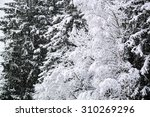 Snowy Pine Tree Branches In Th...