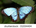 beautiful blue morpho butterfly   Shutterstock . vector #31034404