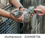 Person Holds Small Crocodile ...