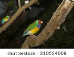 Two Red Headed Gouldian Male...