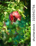 Ripe Pomegranate opening on the tree during Sukkoth  in Jerusalem, Israel - stock photo