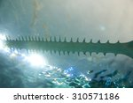Saw Of Sawfish In Aquarium