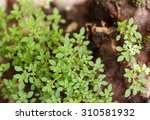 Very Tiny Green Leaves Of Smal...