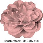 red rose camellia flower... | Shutterstock .eps vector #310587518