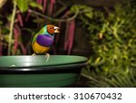 Small photo of Purple-breasted red-headed Gouldian male Finch. Scientific name Erythrura, Chloebia gouldiae. Open beak
