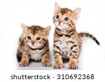 Stock photo two bengal kitten isolated on white 310692368