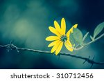 yellow daisy behind the wire... | Shutterstock . vector #310712456