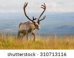reindeer    Shutterstock . vector #310713116