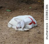 New Born Sheep Abandoned New...