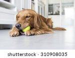 Stock photo indoor shooting golden retriever 310908035