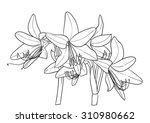 amaryllis flower vector coloring | Shutterstock .eps vector #310980662