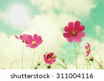 retro cosmos flower fields... | Shutterstock . vector #311004116