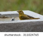 A Female Summer Tanager Drinks...