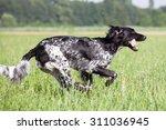 Large Munsterlander Dog Running