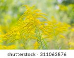 Beautiful Yellow Goldenrod...