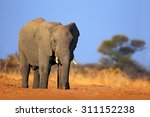 Big African Elephant  On The...