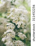 Small photo of Spiraea Vanhoutei flower tree branch / Spiraea Vanhoutei flower tree bloomed in summer / Spiraea Vanhoutei flower tree