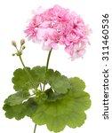Flower Of Geranium Pelargonium...
