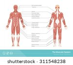 the human muscular system... | Shutterstock .eps vector #311548238