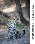 Small photo of A vertical, full length, colour photograph of an agitated leopard, Panthera pardus, sitting and listening at Elephant Plains, Sabi Sands Game Reserve, Mpumalanga province, South Africa.
