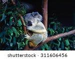 Koala Resting On Eucalyptus...