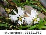 Two White Egret Flowers ...