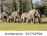 Elephants Walking Together In...