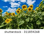 Blooming Field Of Sunflowers O...